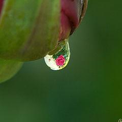 "фото ""Rose reflection"""
