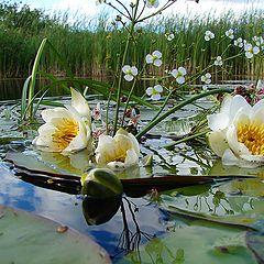 """фото """"Речные цветы"""""""