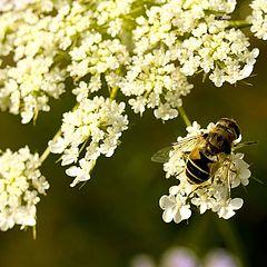 "фото ""Пчела на белом цветке"""