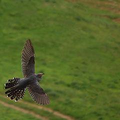 """фото """"Common cuckoo"""""""