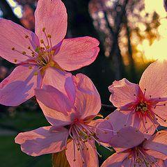 "фото ""Сакура цветёт"""