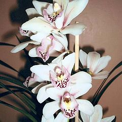 "photo ""Orchid Cymbidium"""