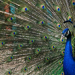 "photo ""The peacock"""