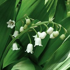 """album """"Lilies of the Valley"""""""