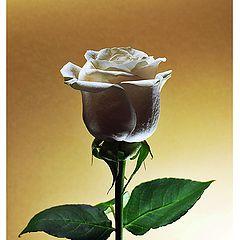 "фото ""Simply rose"""