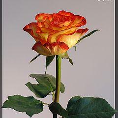 "фото ""Simply rose (2)"""