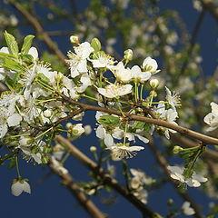 """фото """"cherry flowers"""""""