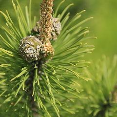 "фото ""Pine cone"""