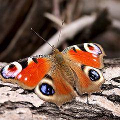 """фото """"Бабочка """"Павлиний глаз"""" на коре дерева"""""""