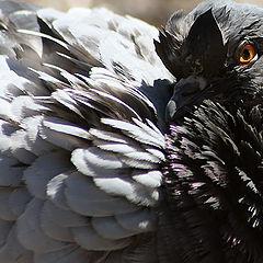 """фото """"Вскормленный в неволе орел молодой...!"""""""