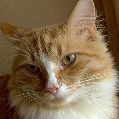 """фото """"Портрет кота"""""""