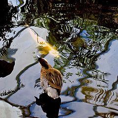 "фото ""Duck ia a fish pond"""