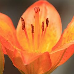"фото ""Orange lily: before and after"""