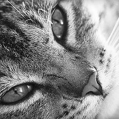 "photo ""Tiger"""