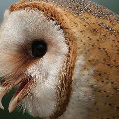 "фото ""barn owl"""
