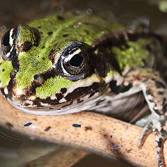 """фото """"Little Green Frog"""""""