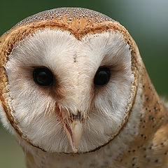 "фото ""barn owl (face)"""