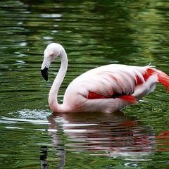 """фото """"flamingo"""""""