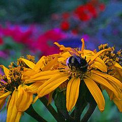"""photo """"buzzy bumble-bee"""""""