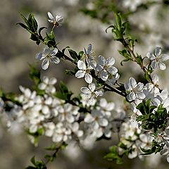 """photo """"Flowering plum"""""""