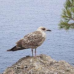 "photo ""Again about gulls"""
