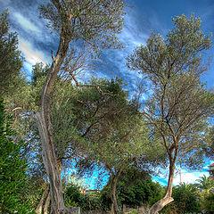 "photo ""Olive trees"""