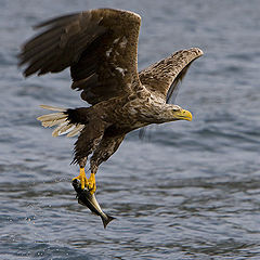 """фото """"Whithe Tailed Eagle"""""""