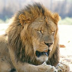 """photo """"King of Beasts"""""""