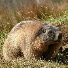 """фото """"Marmot"""""""