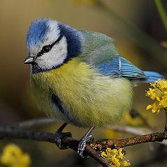 """photo """"Parus caeruleus (6)"""""""