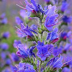 """фото """"Синенький цветочек"""""""
