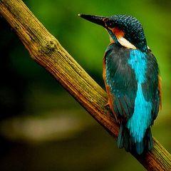 """photo """"Kingfisher # 2"""""""