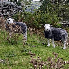 "photo ""Two sheep."""
