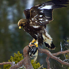 "photo ""Golden Eagel with grouse"""