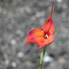 "photo ""Masdevallia Orchid"""