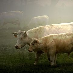 "photo ""cattle in the fog"""
