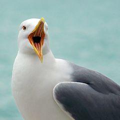 "photo ""singing sea gull"""