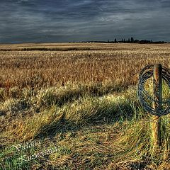 "photo ""Evening in a wheat field"""