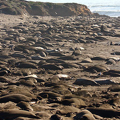 "фото ""Elephant Seals on the beach"""
