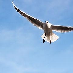"""photo """"Seagull in flight"""""""