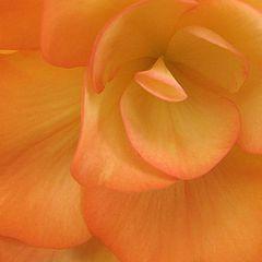 """photo """"Salmon Begonia - Soft Textures"""""""