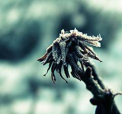 "фото ""Frosty star"""