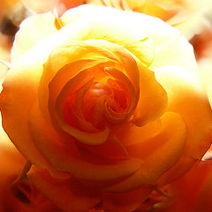"""photo """"Light and Shadow of the Rose"""""""