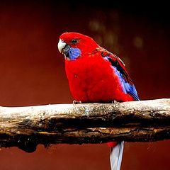 "фото ""red bird"""