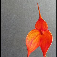 "photo ""Masdevallia - Orchid."""