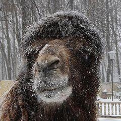 """фото """"Практически снежный барс :)"""""""