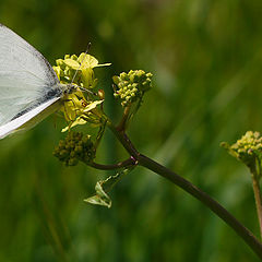 "photo ""White butterfly"""