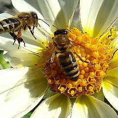 """photo """"макро,пчелы,цветы,лето"""""""