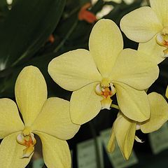 """photo """"Phalaenopsis Orchid in Show."""""""