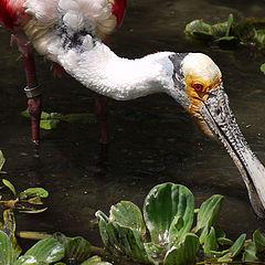 "фото ""Roseate Spoonbill"""